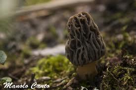 Cagarria (Morchella)