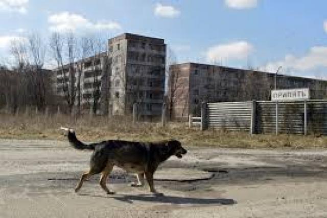 lobos chernobil